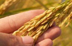 Qualidade do arroz brasileiro aumenta competitividade com os EUA