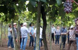 Adoção de tecnologias disponíveis pode aumentar produção de uvas em Mato Grosso