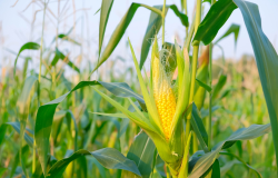 Alta do milho ameaçada por estoque acima do esperado