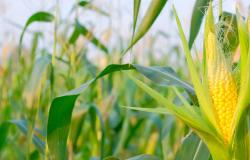 Safra de milho do Brasil aproxima-se de recorde