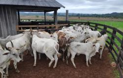 Polícia Civil recupera 70 cabeças de gado furtadas em Guarantã do Norte