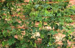 Produtos colhidos pela Empaer no Espaço da Família Rural são destinados a entidades filantrópicas