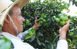 Agricultor investe no cultivo de limão; a expectativa é colher 80 toneladas em um ano