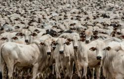 Mais de 400 mil cabeças de gado estão livres de vacinação contra a aftosa em MT