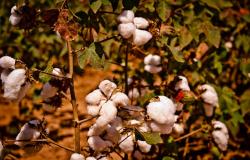 Vazio sanitário do algodão começa nesta quinta-feira (01.10) em Mato Grosso