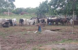 Trabalho integrado identifica quadrilha e recupera 82 cabeças de gado