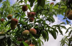 PESQUISA E INOVAÇÃO: Pêssegos com tecnologia da Embrapa ganham mercados no Hemisfério Norte