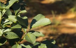 Pesquisadores elaboram dicionário das características sensoriais do chá-mate