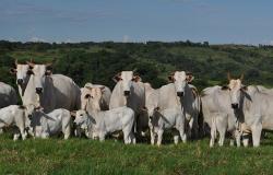 Boi gordo: maior oferta de animais deve ser observada apenas em maio, diz Safras