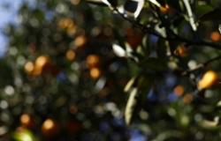 Safra de laranja deve crescer 33% no Paraná