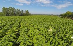 RS: culturas de milho e tabaco serão prejudicadas pela seca