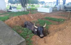 Boi cai em cova de cemitério de MT e é resgatado pelo dono