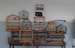 Homem é preso com 13 gaiolas com pássaros irregulares