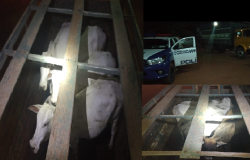 PM descobre furto de gado e prende caseiro