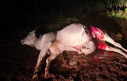 Ladrões são flagrados descarnando vaca roubada no distrito de Bauxi