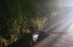 Búfalo provoca acidente na MT 241