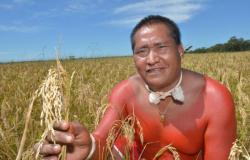 No Mato Grosso, indígenas Xavante colhem mais de 100 toneladas de arroz