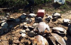 Estado flagra caça ilegal tartarugas