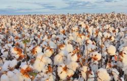 Safra de algodão 18/19 do Brasil deve crescer para 2,2 mi t, prevê Agroconsult