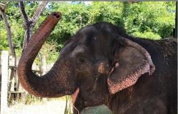 Elefanta Lady chega ao Santuário do Elefantes em Chapada dos Guimarães