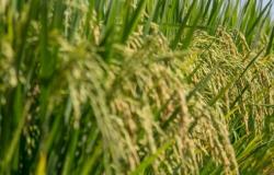 Safra de 2020 deve bater recorde; arroz e soja podem ter queda de produção