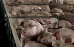 Cenário de suínos pode se manter positivo