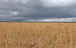 Excesso de chuva prejudica colheita de soja em MT, diz agricultores