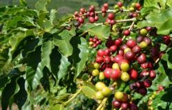 Produção brasileira de café deve crescer 18%