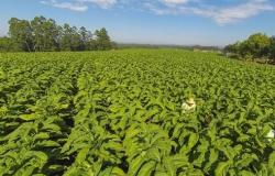 Exportação de tabaco cresce 70% no início do ano