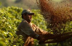Começa colheita do café arábica, mas condição das lavouras com seca já preocupa para próxima safra