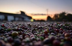 Comercialização da safra 2021 de café do Brasil atinge 53%, aponta SAFRAS
