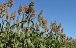 Como substituto do milho, sorgo volta a ganhar espaço em Mato Grosso