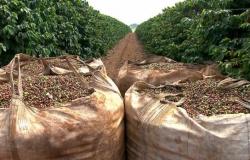 Colheita de café cooperados da Cooxupé estava em 79,33% até 13/08