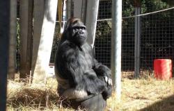 Morre Koko, a gorila capaz de >falar> por meio de linguagem de sinais