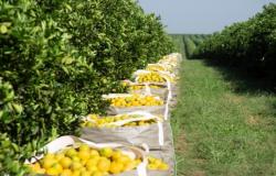 Safra de laranja 2020/21 se encerra em 268,63 milhões de caixas / 2020-21 Final orange crop forecast update