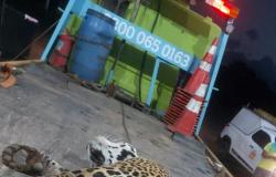 Onça-pintada é encontrada morta às margens de rodovia em MT