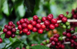 Produção de café deverá ser 10% menor que ano passado