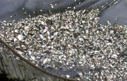 Empaer comercializa alevinos de tambacu e tambatinga no final de janeiro