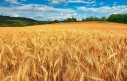 Trigo no Cerrado Central tem potencial de crescimento