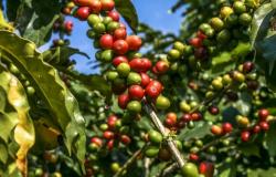 Linha de crédito para recuperação de cafezais aumenta para R$ 160 milhõesv