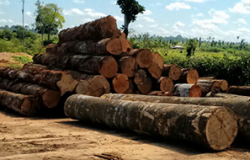 Ministra suspende processos na Justiça Federal que investigam extração ilegal de madeira no PA e no AM