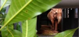 Elefanta Bambi inicia viagem para Santuário em Chapada dos Guimarães