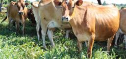 Produtor diversifica alimentação de bovinos e aumenta eficiência na produção de leite