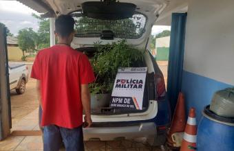 Jovem é preso por cultivar pés de maconha em estufa