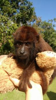 Sema envia filhote de macaco a entidade do Rio de Janeiro