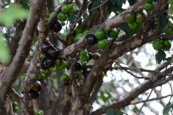 Extrato da casca da jabuticaba foi usado na pesquisa  (Divulgação Embrapa)