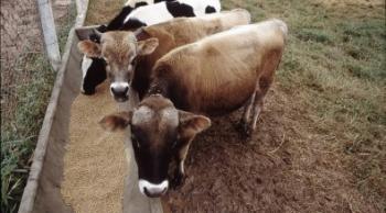 Testes em fazendas experimentais indicam que a adição do suplemento na ração do rebanho induziu, após 45 dias, um aumento de 5% na produção de leite (foto: Eduardo Cesar / Pesquisa FAPESP)