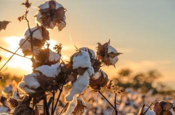 Plantação de algodão iStock.jpg iStock
