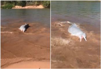 Botos >pescando> às margens do Rio Araguaia