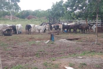 Policia identifica quadrilha e recupera 82 cabeças de gado